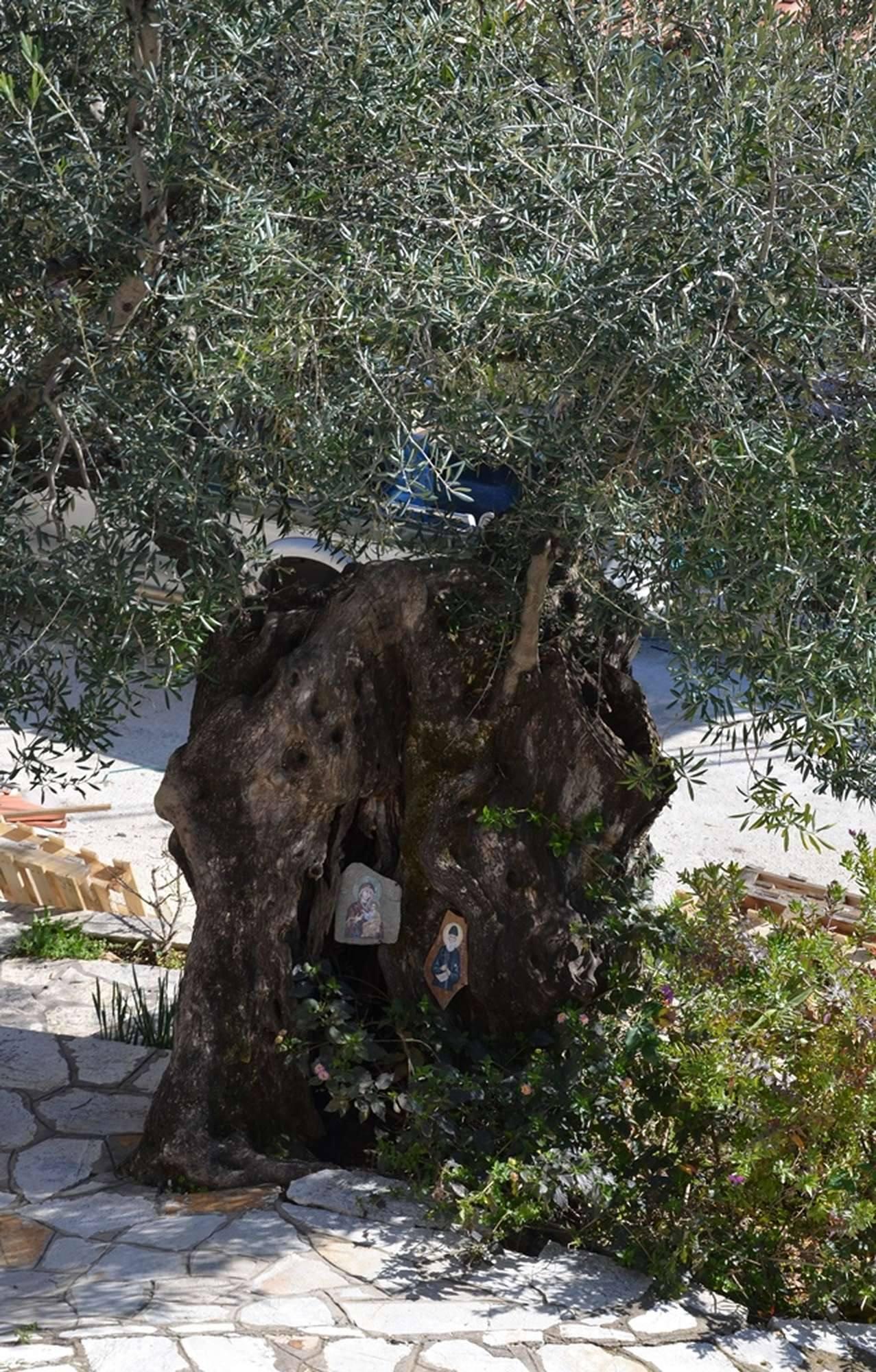 Древняя олива в монастыре Панкократор